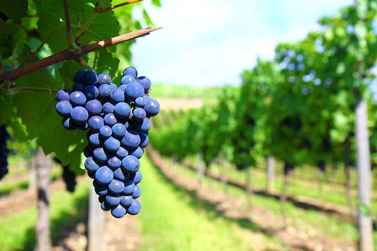 Grape vine closeup in vineyard