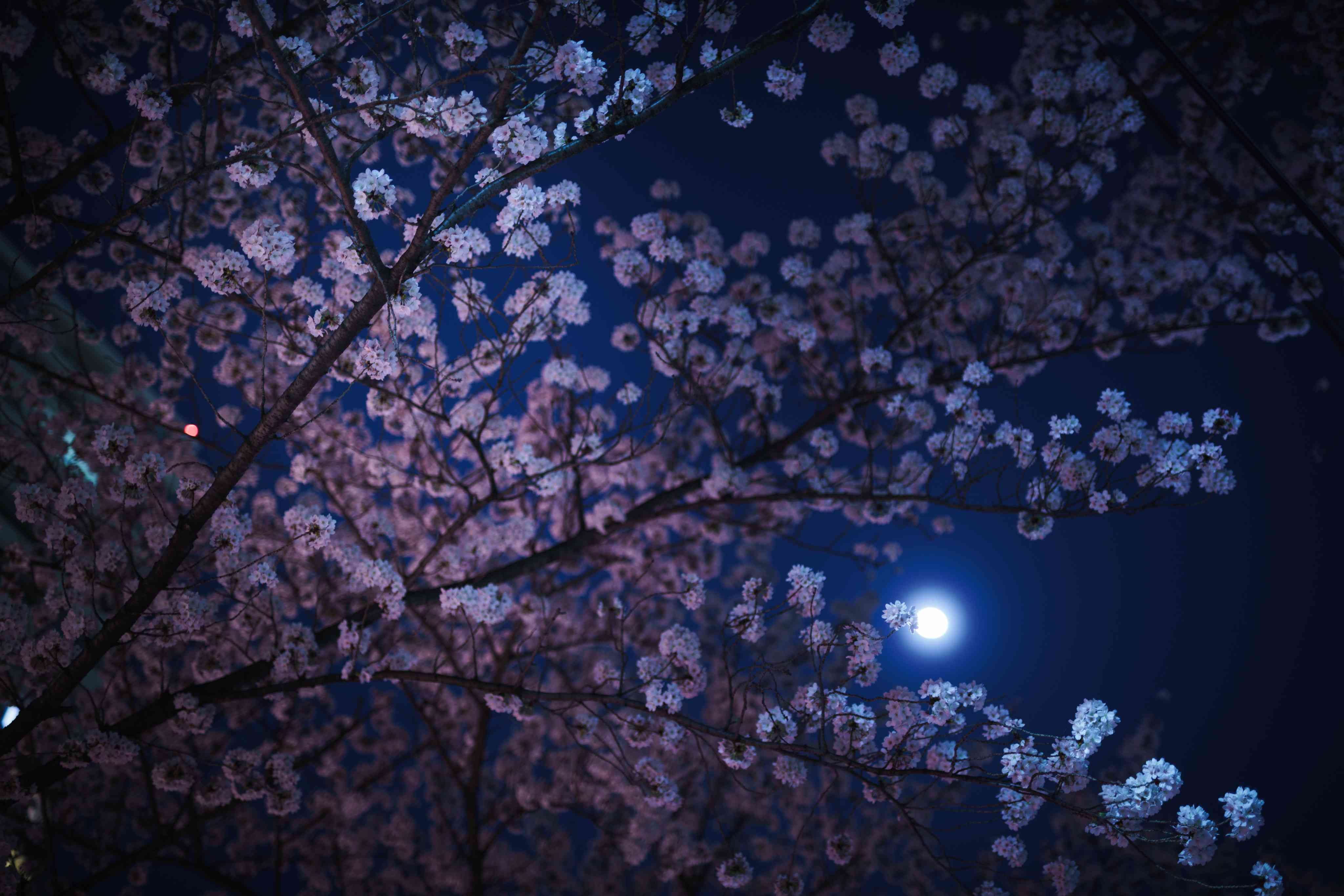 Low Angle View Of Cherry Blossom Tree At Night