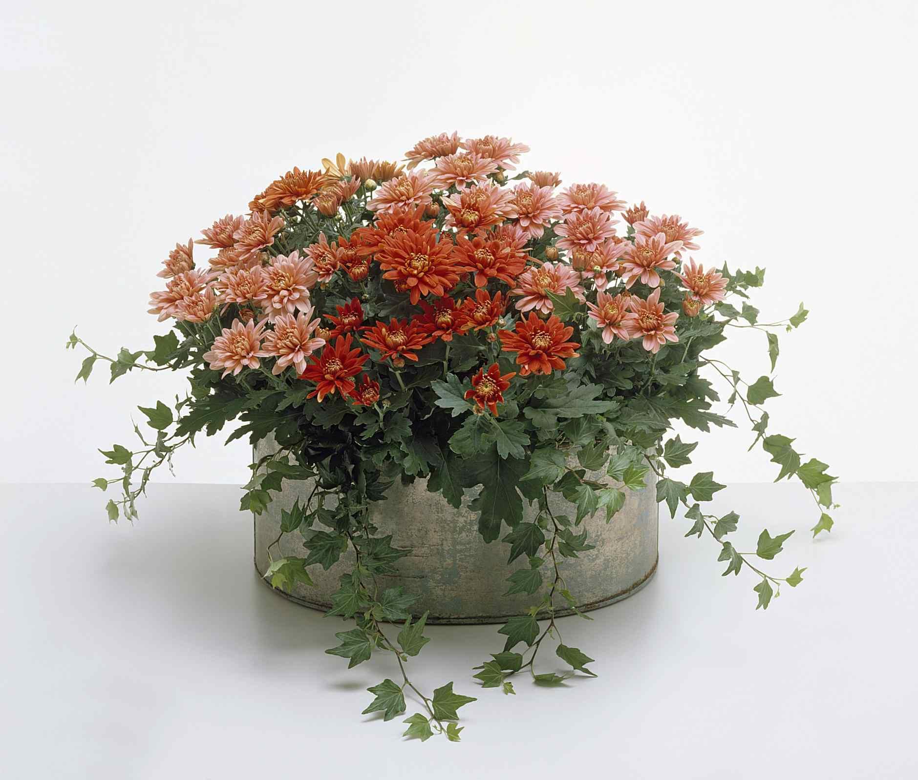 gi-plants-mums.jpg