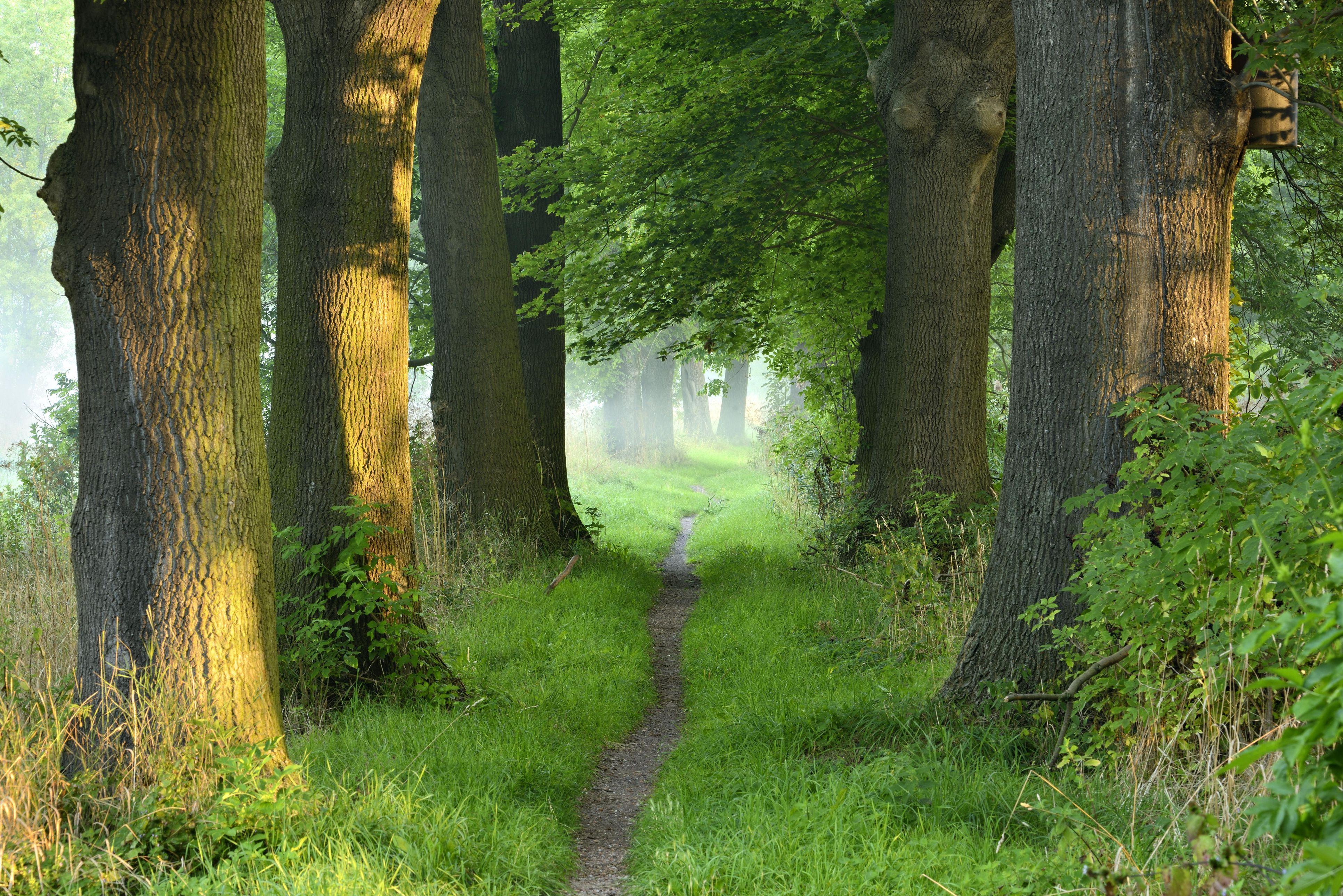 Narrow path, oak avenue, fog, morning light, flower bed, Naumburg, Saxony-Anhalt, Germany