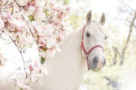 White horse next to tulip tree.