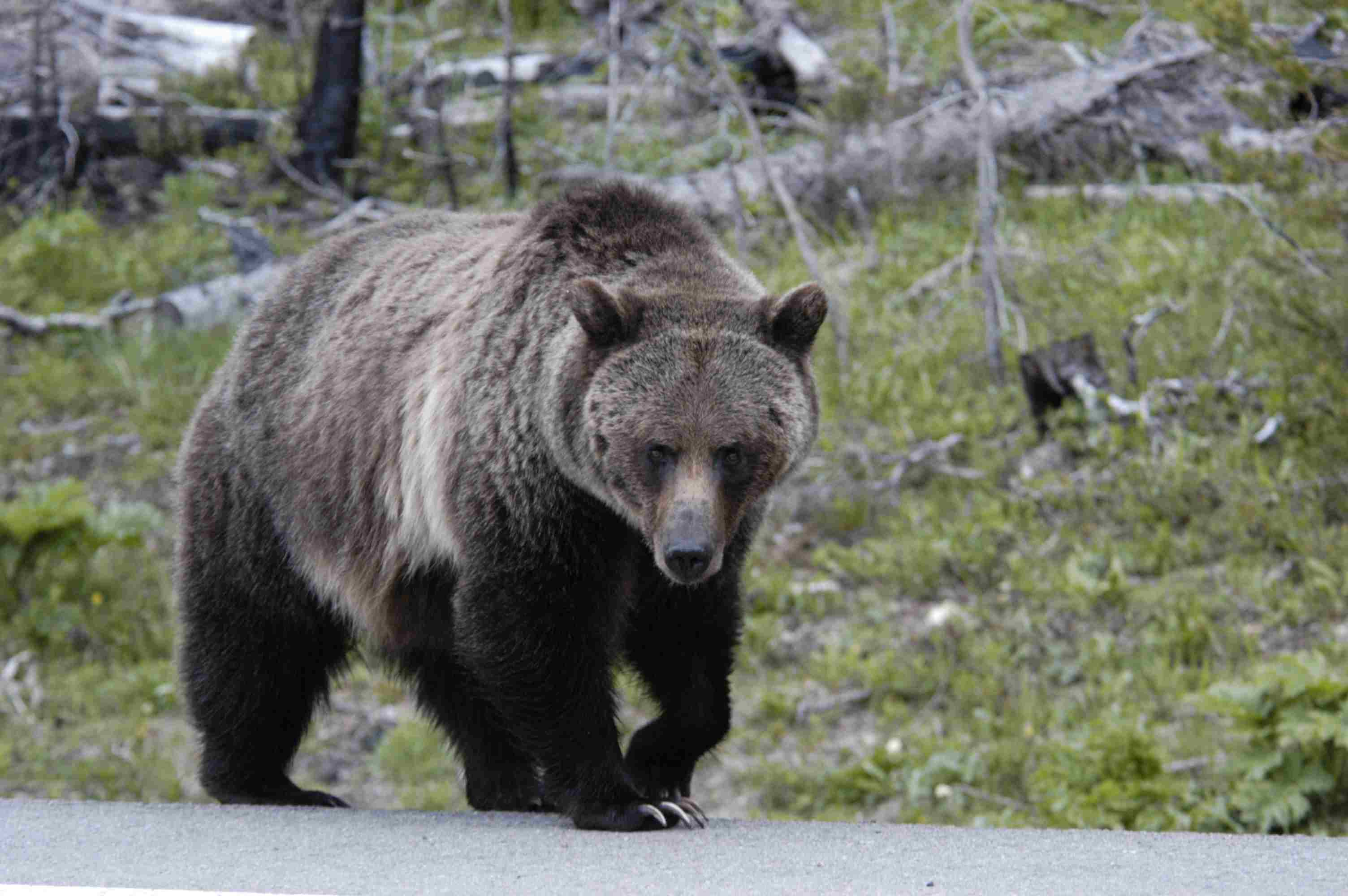 Grizzly Bears on Yellowstone Road