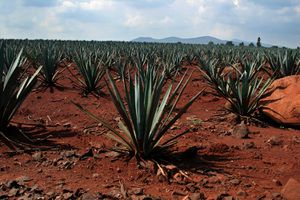 Corazon Agave Fields