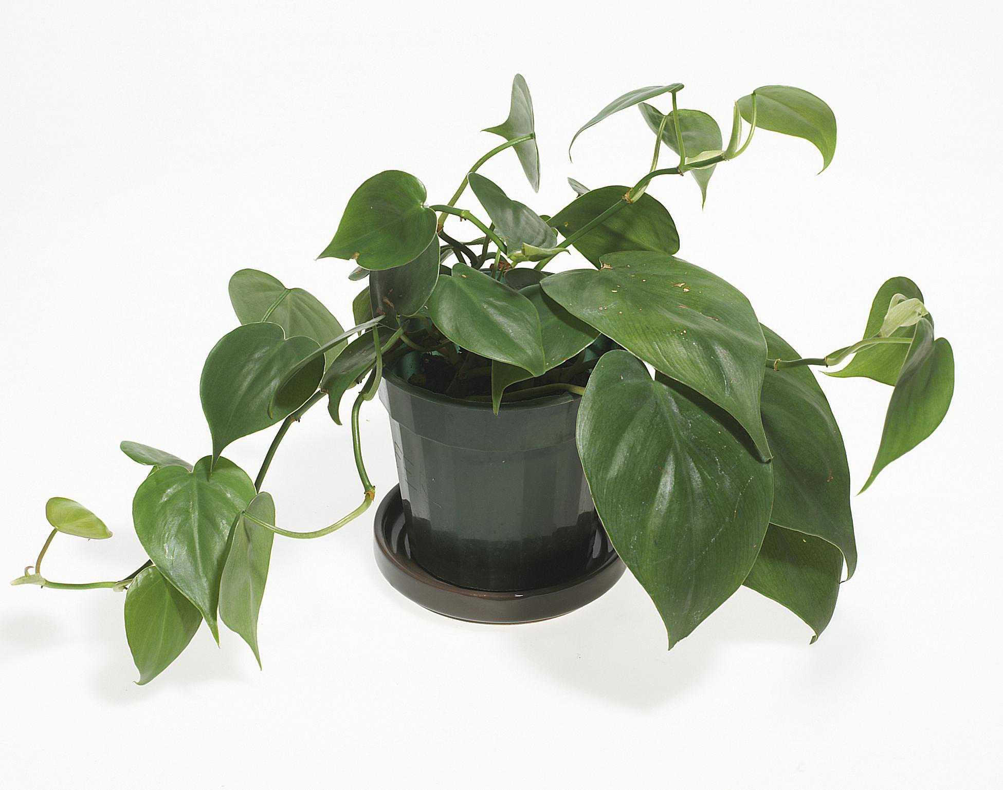 gi-plants-phildrendron.jpg