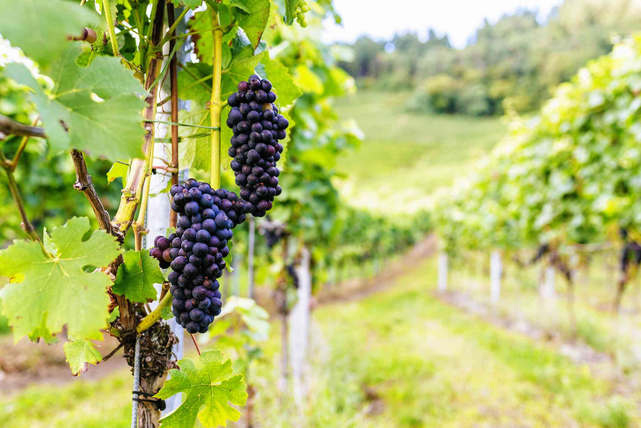 Close-up of bunch of red grapes in vineyard