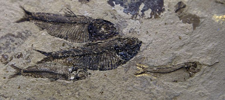 Fossil fish actinopterygiens