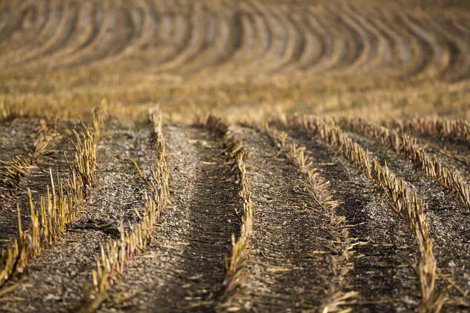 Empty Cornfield at End of Harvest