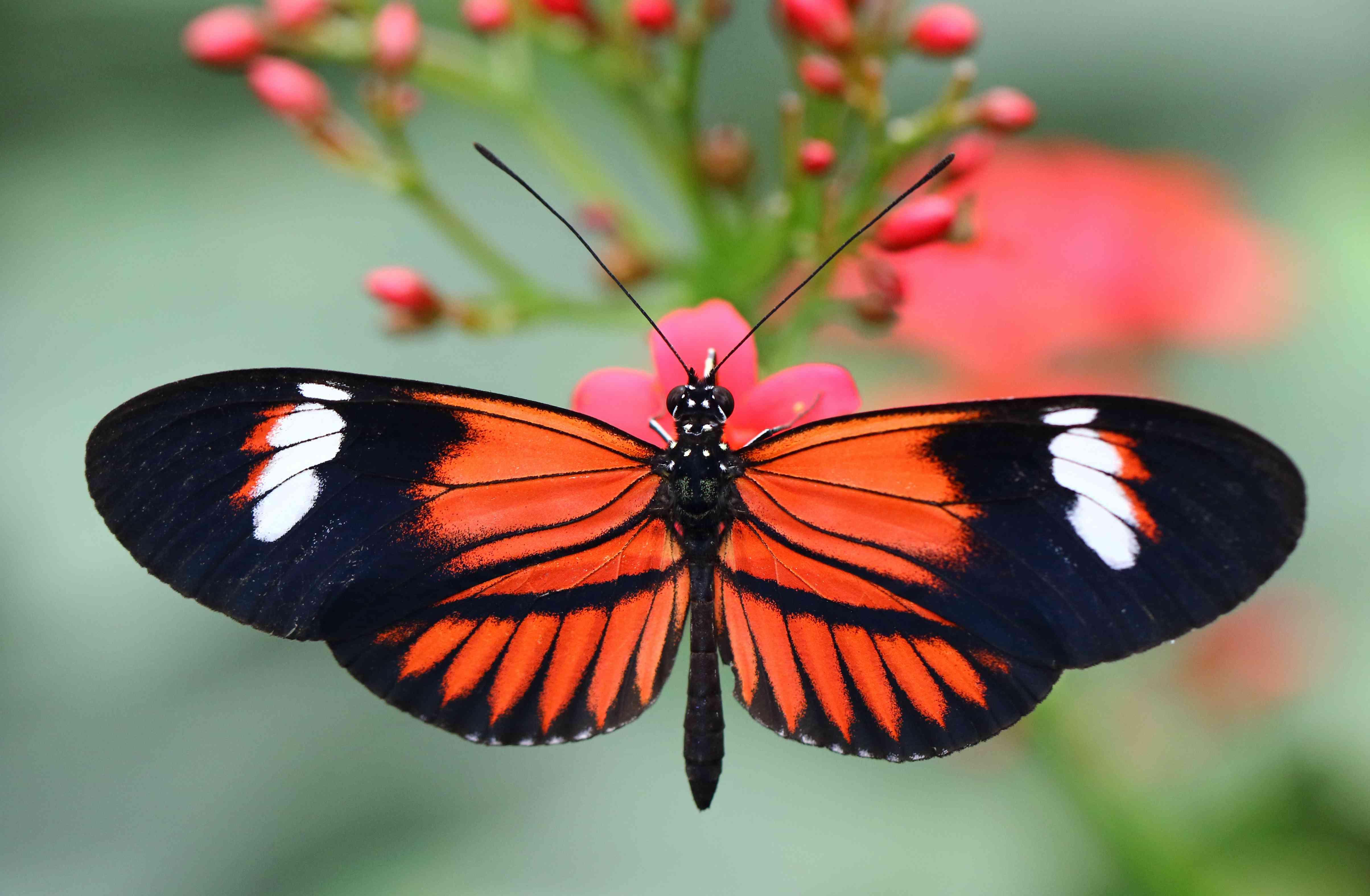 Red Postman Butterfly - Heliconius melpomene