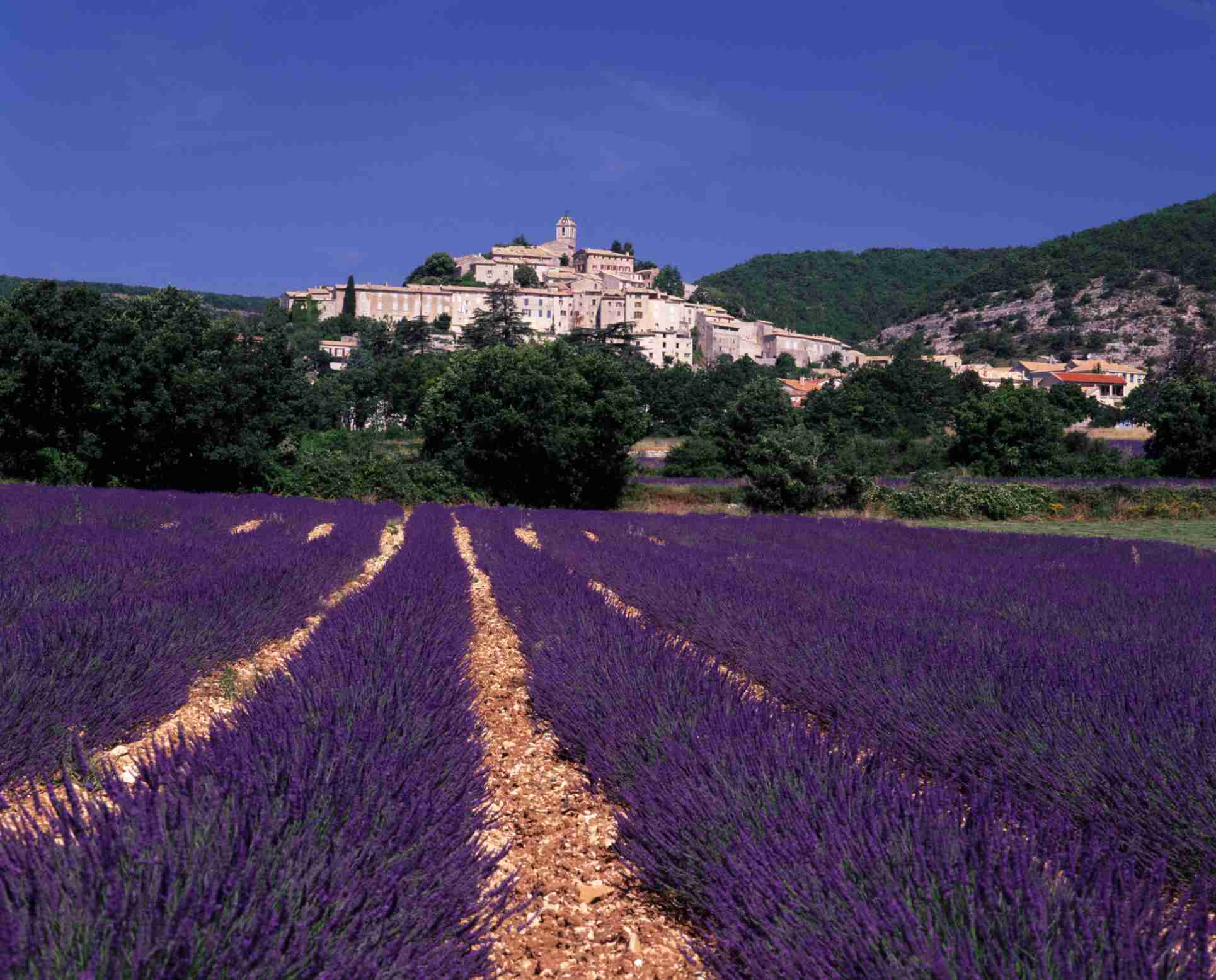 Lavender1500.jpg